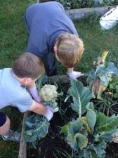 FLEX class harvesting cauliflower