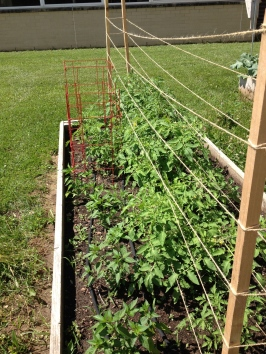 Come on tomatoes! We'd love to eat you any day now!