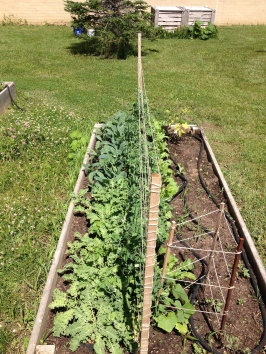 The sugar snap peas are being harvested, and two kinds of kale both for loose salad greens and bunched for cooking.