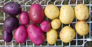 Students will try several varieties of Michigan-grown potatoes, including fingerling and purple potatoes!