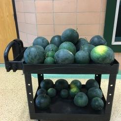 Creekside students helped harvest over 150 lbs of watermelon from the Sullivan Memorial Garden