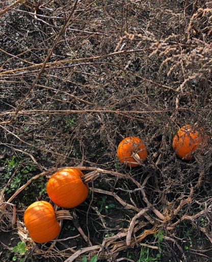 Pumpkins from Wing Farms